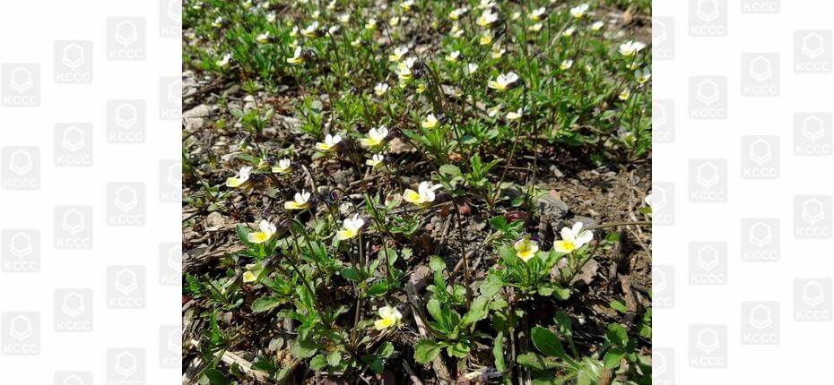 Viola arvensis Murr. - Фиалка полевая.
