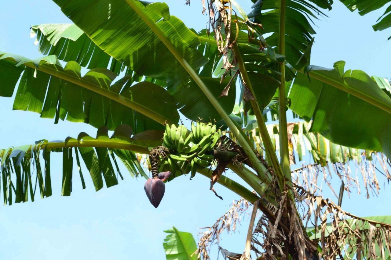 бананы в природе фото много боли