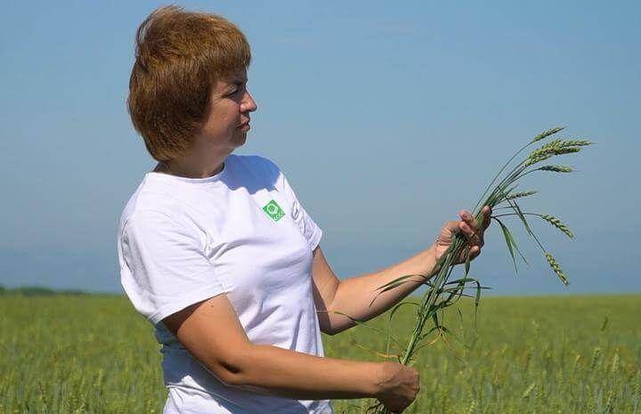Система защиты яровой пшеницы  в АО Зерно Сибири препаратами Кирово-Чепецкой Химической Компании