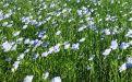 В продолжение темы масличных культур - Image preview 1