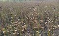 В продолжение темы масличных культур - Image preview 3