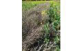 Рапс и лён в Новосибирской области наращивают объем - Image preview 2