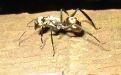 Золотистый кампонотус - Image preview 4
