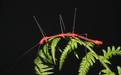 Перуанский папоротниковый палочник - Image preview 3