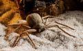 Шестиглазый песочный паук - Image preview 1