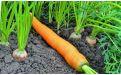 Позеленение верхушки моркови - Image preview 3
