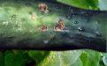 Оливковая пятнистость огурцов - Image preview 3