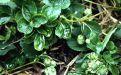 Позеленение лепестков земляники и клубники - Image preview 2