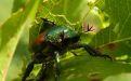 Вред от японского жука - Image preview 1