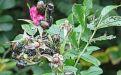 Вред от японского жука - Image preview 3