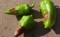 Сухая пятнистость плодов перца - Image preview 2