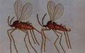 Крошечный просяной комарик - Image preview 2