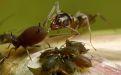 Муравьи вместо инсектицидов - Image preview 2