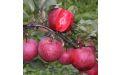 Яблоки с красной мякотью  - Image preview 2