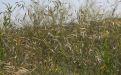 Костер полевой - Image preview 1