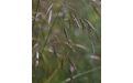 Костер полевой - Image preview 2