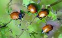 Листоед тополевый – краснокрылый враг деревьев - Image preview 2