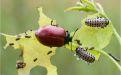 Листоед тополевый – краснокрылый враг деревьев - Image preview 3