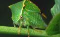 Бодушка бизонья - зеленый «буйвол» на ветке  - Image preview 1