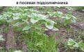 Сорняки в посевах подсолнечника - Image preview 2