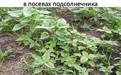 Сорняки в посевах подсолнечника - Image preview 3