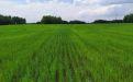 Гербициды на яровой пшенице от ТД