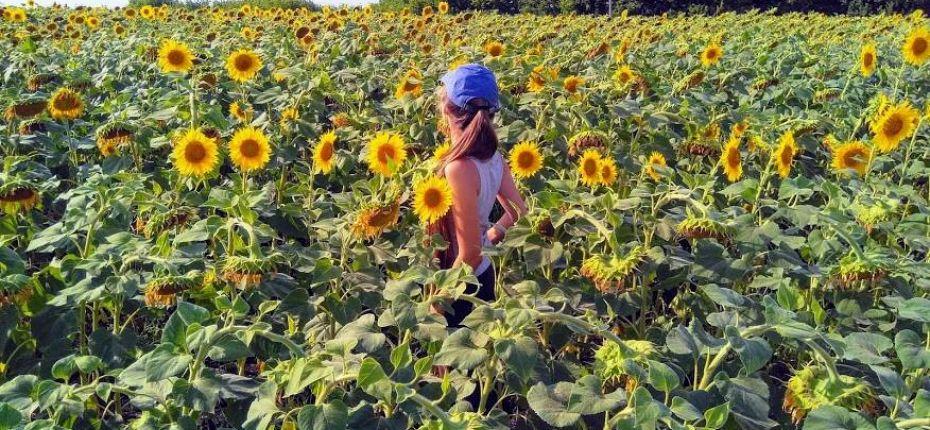 В Тамбовской области собран рекордный урожай подсолнечника - ООО ТД Кирово-Чепецкая Химическая Компания