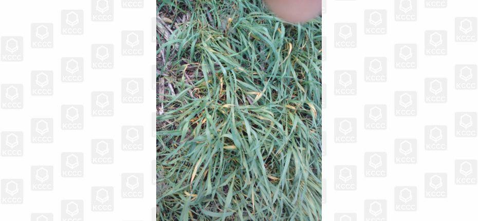 Стрик-вирус полосатой мозаики пшеницы, вот с чем столкнулись агрономы в сезоне 2019 г. - ООО ТД Кирово-Чепецкая Химическая Компания