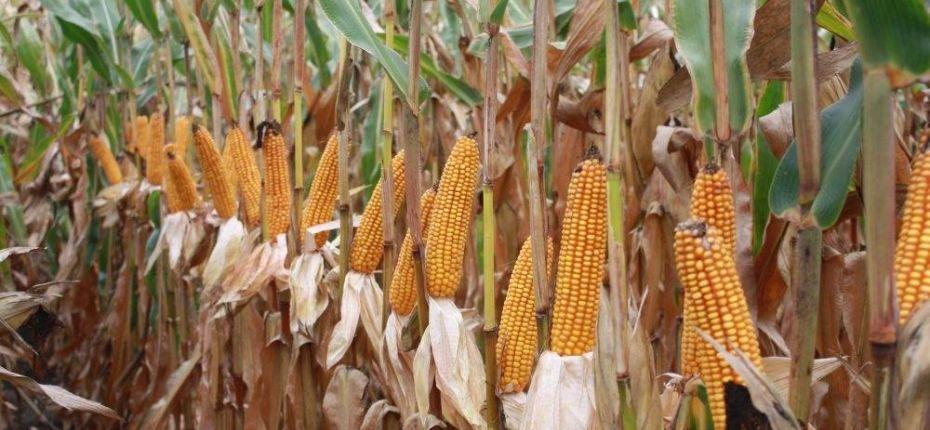 В Тамбовской области начали убирать кукурузу. - ООО ТД Кирово-Чепецкая Химическая Компания