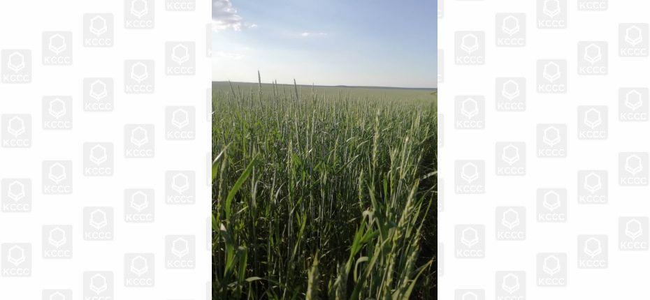 Защита яровой пшеницы КФХ