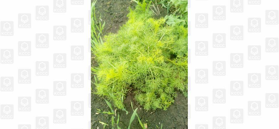 Арбалет, СЭ- гербицид для зерновых культур - ООО ТД Кирово-Чепецкая Химическая Компания