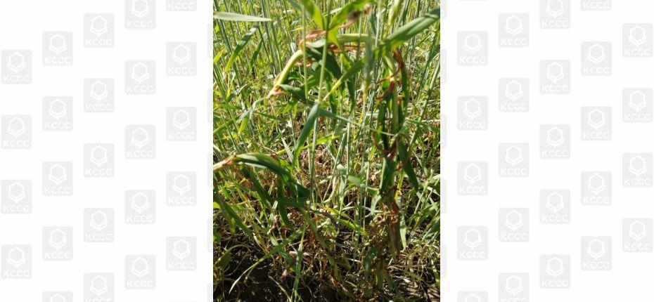 Баковая смесь для защиты зерновых культур - ООО ТД Кирово-Чепецкая Химическая Компания