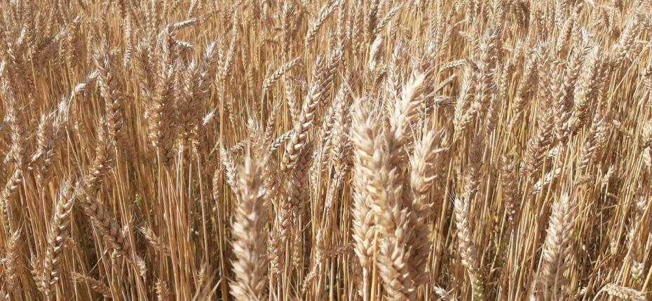 Пензенские аграрии собрали более трех миллионов тонн зерновых. - ООО ТД Кирово-Чепецкая Химическая Компания