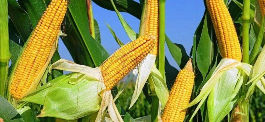 Кукуруза на зерно - ООО ТД Кирово-Чепецкая Химическая Компания