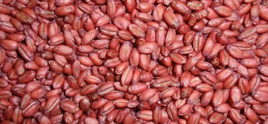 Эффективность инсектицидных протравителей семян в системе защиты зерновых культур - ООО ТД Кирово-Чепецкая Химическая Компания