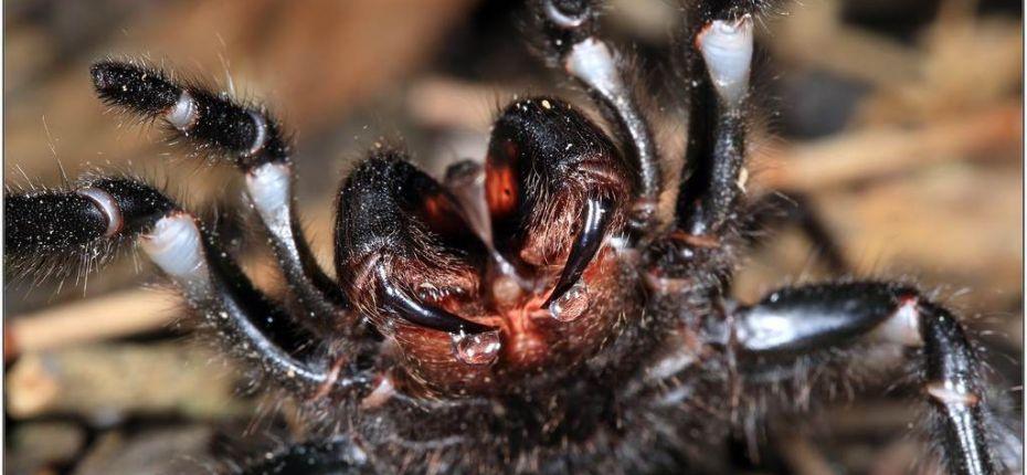 Сиднейский лейкопаутинный паук - ООО ТД Кирово-Чепецкая Химическая Компания