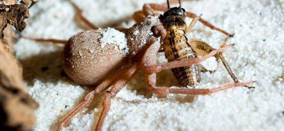 Шестиглазый песочный паук - ООО ТД Кирово-Чепецкая Химическая Компания