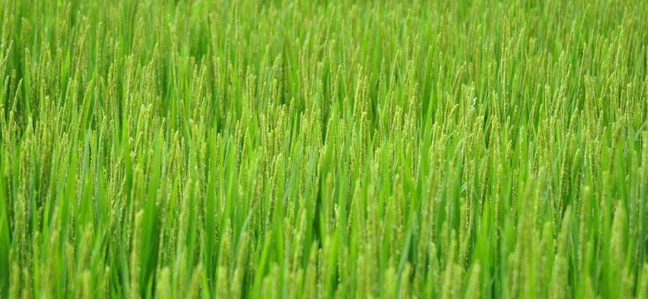 Ученые научились управлять цветением риса - ООО ТД Кирово-Чепецкая Химическая Компания