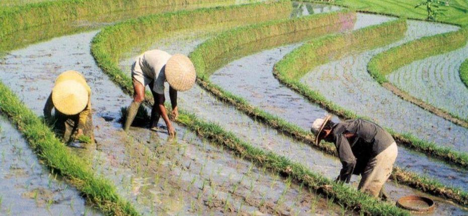 Почему рис выращивают на затапливаемых полях - ООО ТД Кирово-Чепецкая Химическая Компания