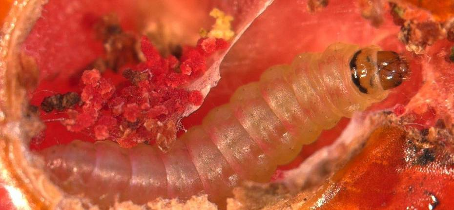 Вредитель наносит ущерб томатам и картофелю - ООО ТД Кирово-Чепецкая Химическая Компания
