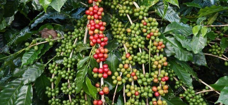 Земля может почти полностью лишиться кофе - ООО ТД Кирово-Чепецкая Химическая Компания