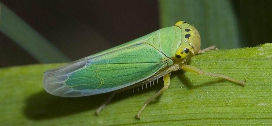 Шеститочечная цикадка - опасная лакомка - ООО ТД Кирово-Чепецкая Химическая Компания