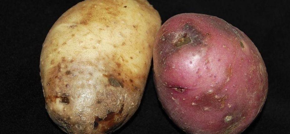 Фитофтороз картофеля - ООО ТД Кирово-Чепецкая Химическая Компания