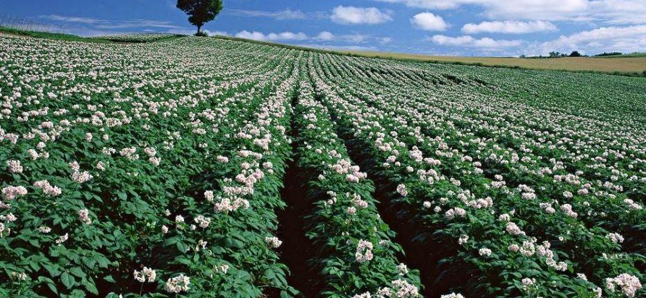 Какими пестицидами защищают картофельные поля - ООО ТД Кирово-Чепецкая Химическая Компания