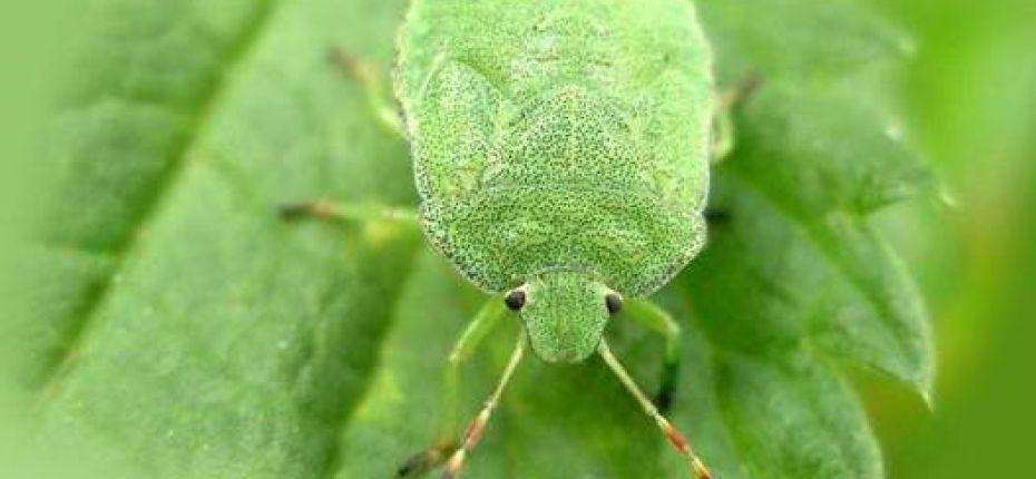 Зеленые садовые клопы — опасные вредители в вашем саду - ООО ТД Кирово-Чепецкая Химическая Компания
