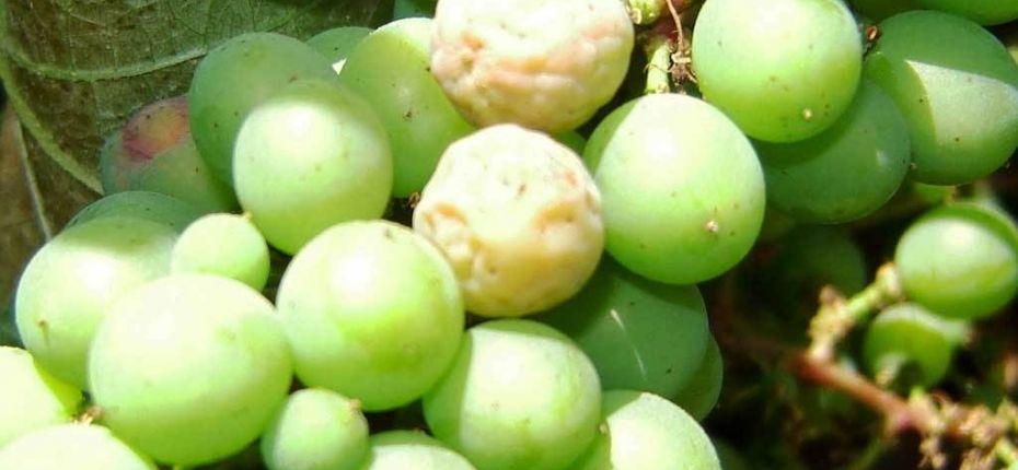 Белая гниль винограда  - ООО ТД Кирово-Чепецкая Химическая Компания