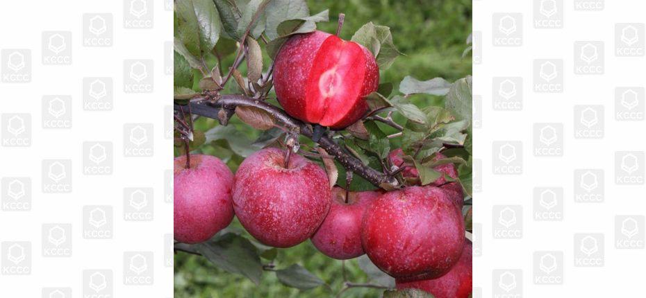 Яблоки с красной мякотью  - ООО ТД Кирово-Чепецкая Химическая Компания