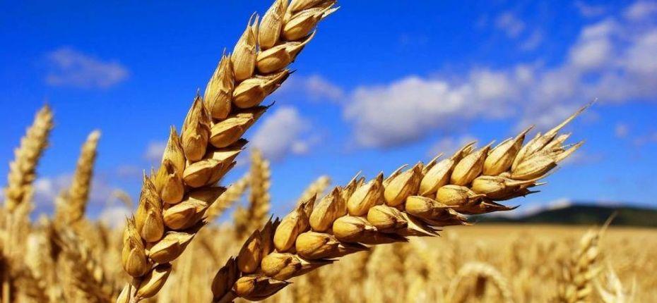 На планете ожидается хороший урожай пшеницы - ООО ТД Кирово-Чепецкая Химическая Компания