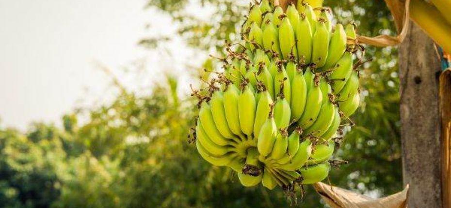 В Японии выращивают холодоустойчивые бананы - ООО ТД Кирово-Чепецкая Химическая Компания