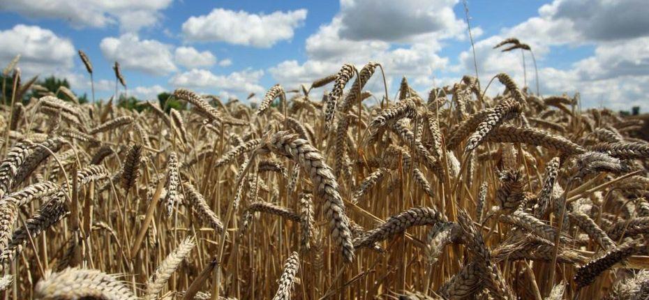Где в России выращивают самое качественное зерно - ООО ТД Кирово-Чепецкая Химическая Компания